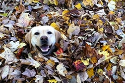 A yellow lab sticking it's head out of a pile of leaves, from Stella's Best Leaf Jumps video.